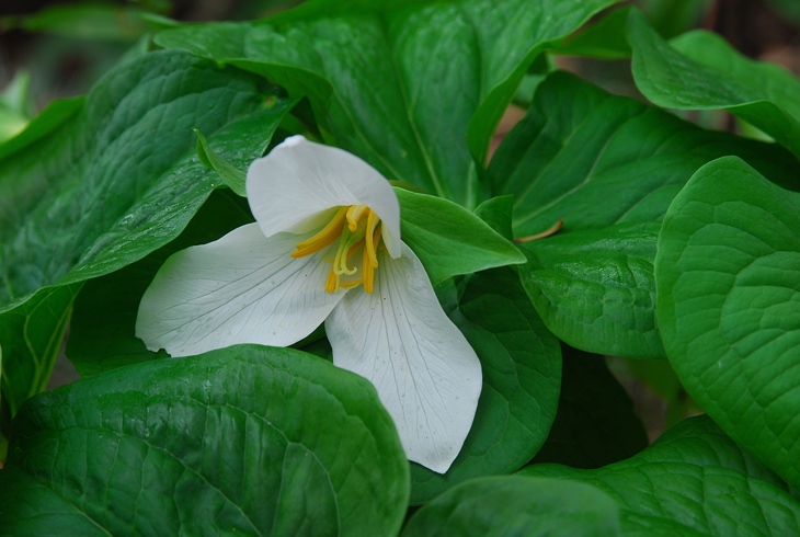 Trillium is one of more than 150 varieties of native plants, trees and shrubs that will be available at the Spring Native Plant Sale on April 16.