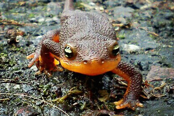 Newt Day, THPRD's homage to this rough-skinned amphibian, returns on Saturday, Nov. 5, from noon-4 p.m.