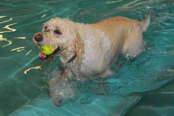 On Aug. 20, THPRD will offer its third open swim for pooches of all breeds.  Pre-registration is recommended.