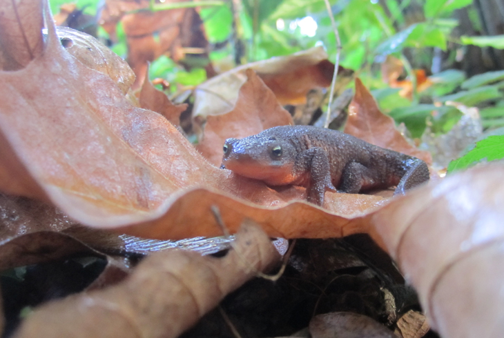 See some amazing animals, like the rough-skinned newt, at THPRD's Newt Day.